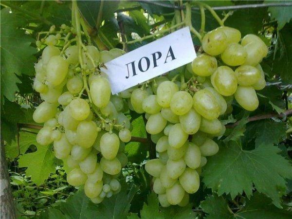 Виноград лора: описание сорта, выращивание, отзывы, фото