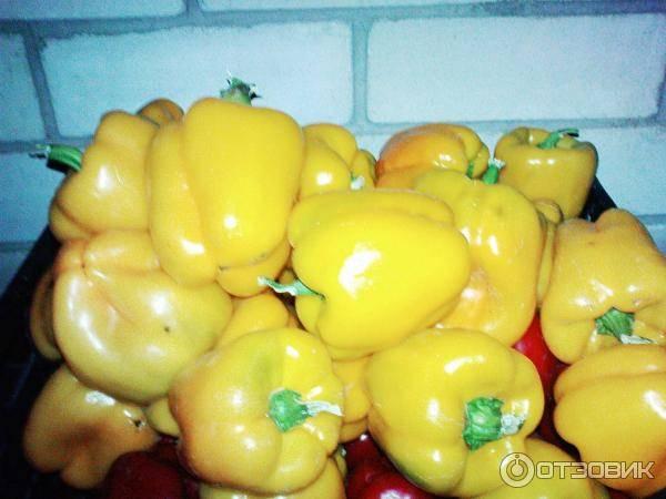 """Перец """"желтый колокол"""": характеристика и описание сорта, отзывы, урожайность, фото"""