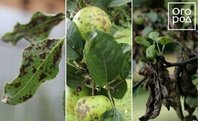 Трескаются и гниют плоды груши на дереве: 5 вещей, которые нужно сделать весной