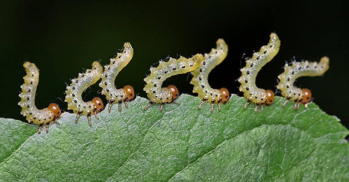 Гусеницы на перцах в теплице — как бороться?
