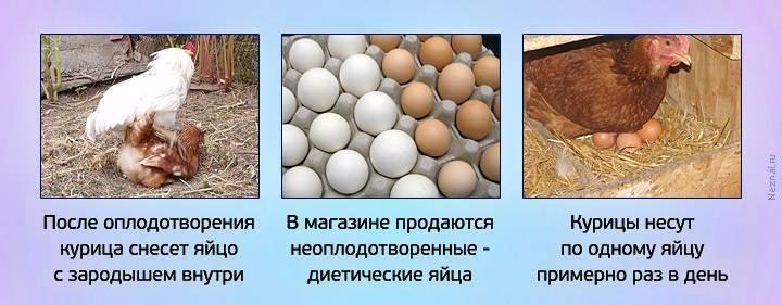 Может ли курица без петуха нести яйца?