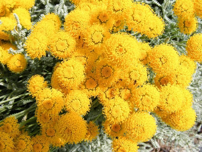 Сантолина: посадка и уход, фото, размножение сорта, выращивание в открытом грунте и сочетание в ландшафтном дизайне