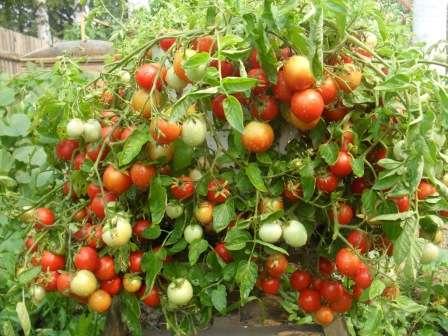 Ранние сорта помидоров для открытого грунта: низкорослые, с крупными плодами фото