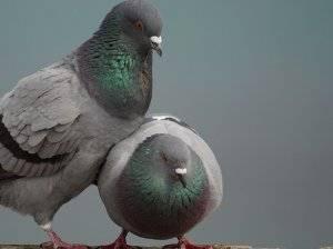 Размножение и спаривание голубей