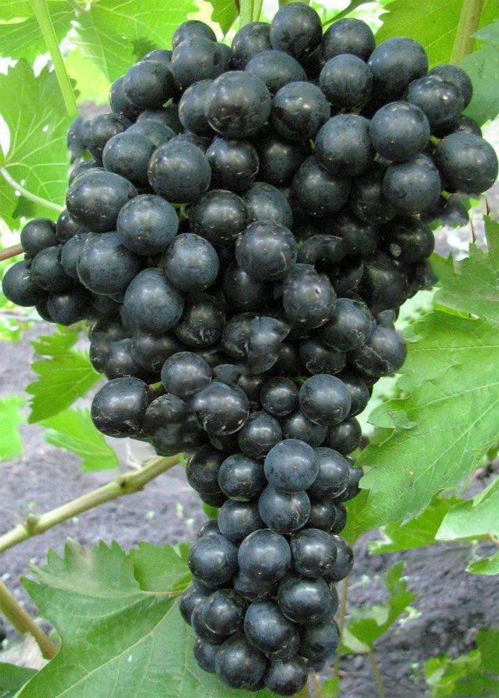 """Виноград """"кишмиш черный"""": описание сорта, фото"""