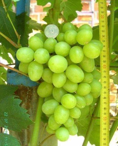 """Виноград """"дарья"""": описание сорта, фото, отзывы"""