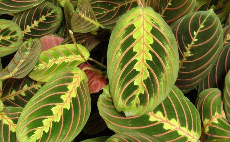 Маранта (48 фото): описание, уход за растением в домашних условиях, размножение черенками и цветение. почему у маранты желтеют и сохнут листья?