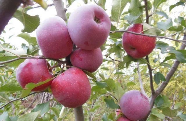 Яблоня флорина: описание сорта яблок, посадка, обрезка + фото, отзывы