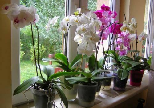 Обрезать после цветения орхидею в горшке: что делать с сухой стрелкой, когда отцвела, как правильно удалить, и пошаговая процедура, уход в домашних условиях, фото русский фермер