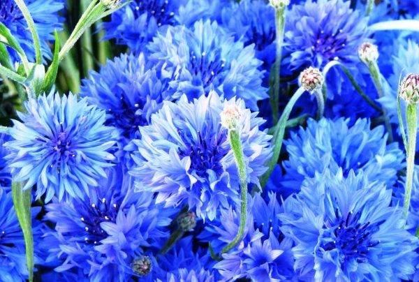 Василек садовый многолетний: посадка семенами и уход
