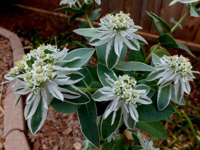 """Молочай окаймленный: описание вида """"снежные вершины"""", особенности выращивания, в том числе из семян, посадки и ухода, цветок euphorbia marginata на фотодача эксперт"""
