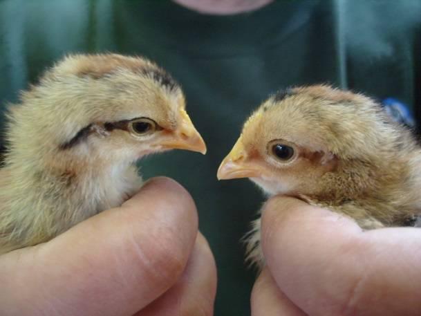 Порода кур вельзумер: описание, фото, содержание, отзывы