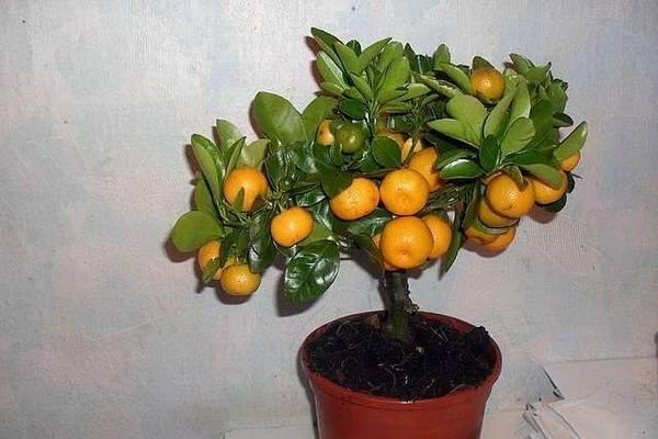 Выращивание мандарина сорта «уншиу» в домашних условиях