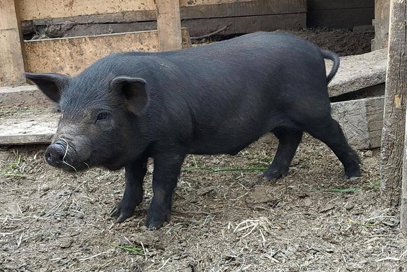 Кармалы: порода свиней с особенными достоинствами