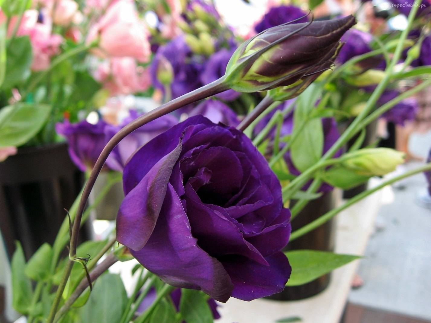 Многолетняя эустома фото цветов, как посадить и вырастить из рассады дома ирландскую розу