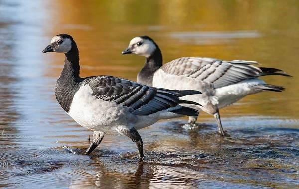 Такие разные дикие гуси