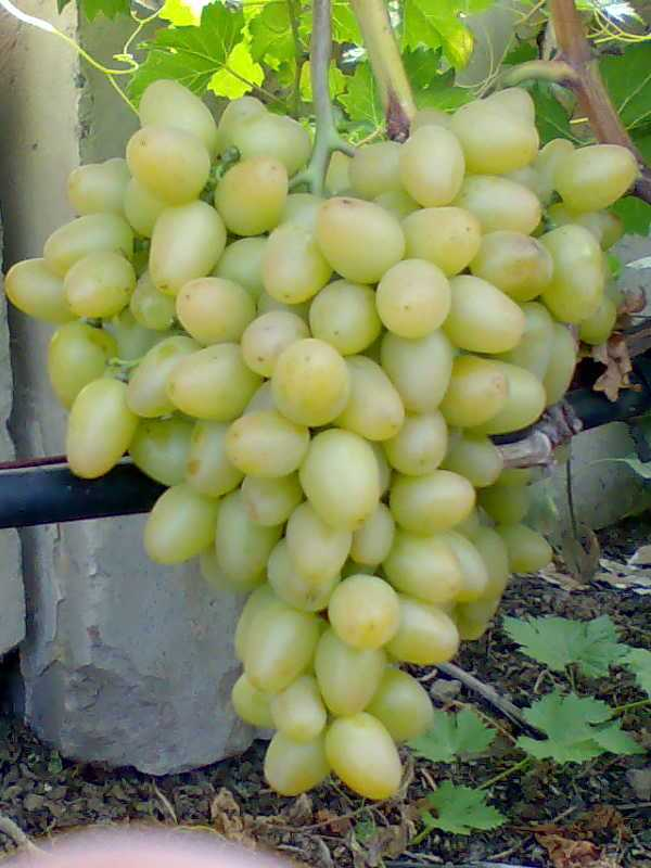 Виноград «Супер Экстра»: описание сорта, отзывы + фото