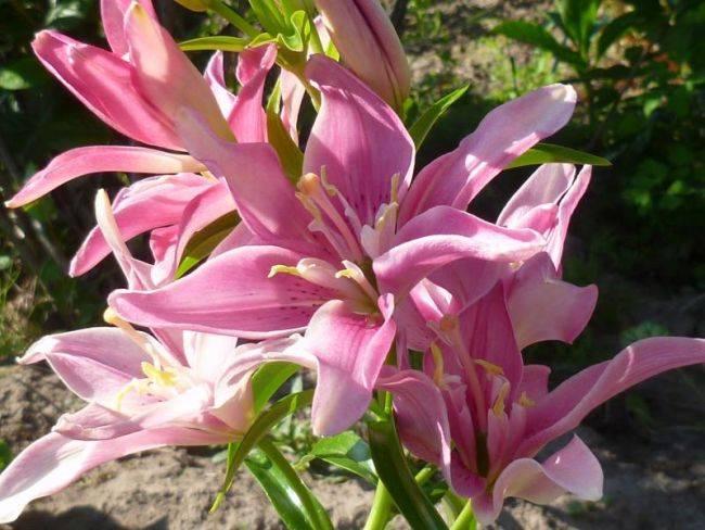 Лилия – виды, гибриды, посадка, выращивание и уход
