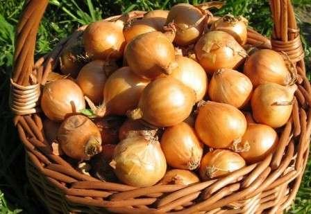 Лук стурон: описание сорта, отзывы и особенности выращивания