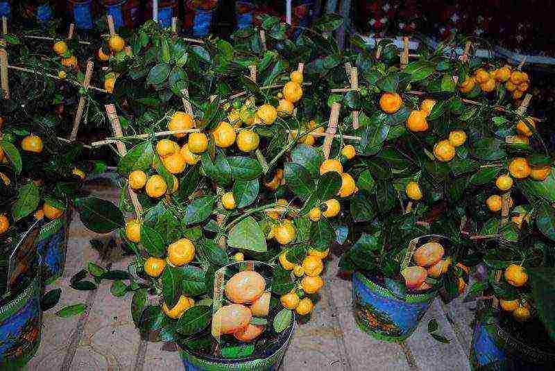Как вырастить дома мандарин из косточки