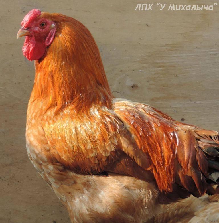 Описание мясо-яичных пород кур: полтавская глинистая