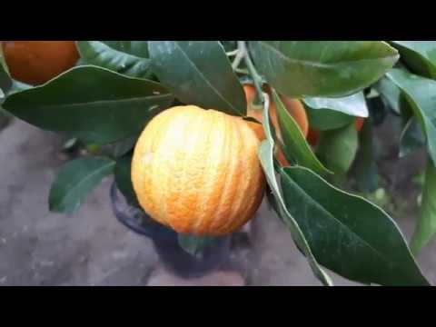 Апельсин в домашних условиях. как вырастить апельсин дома