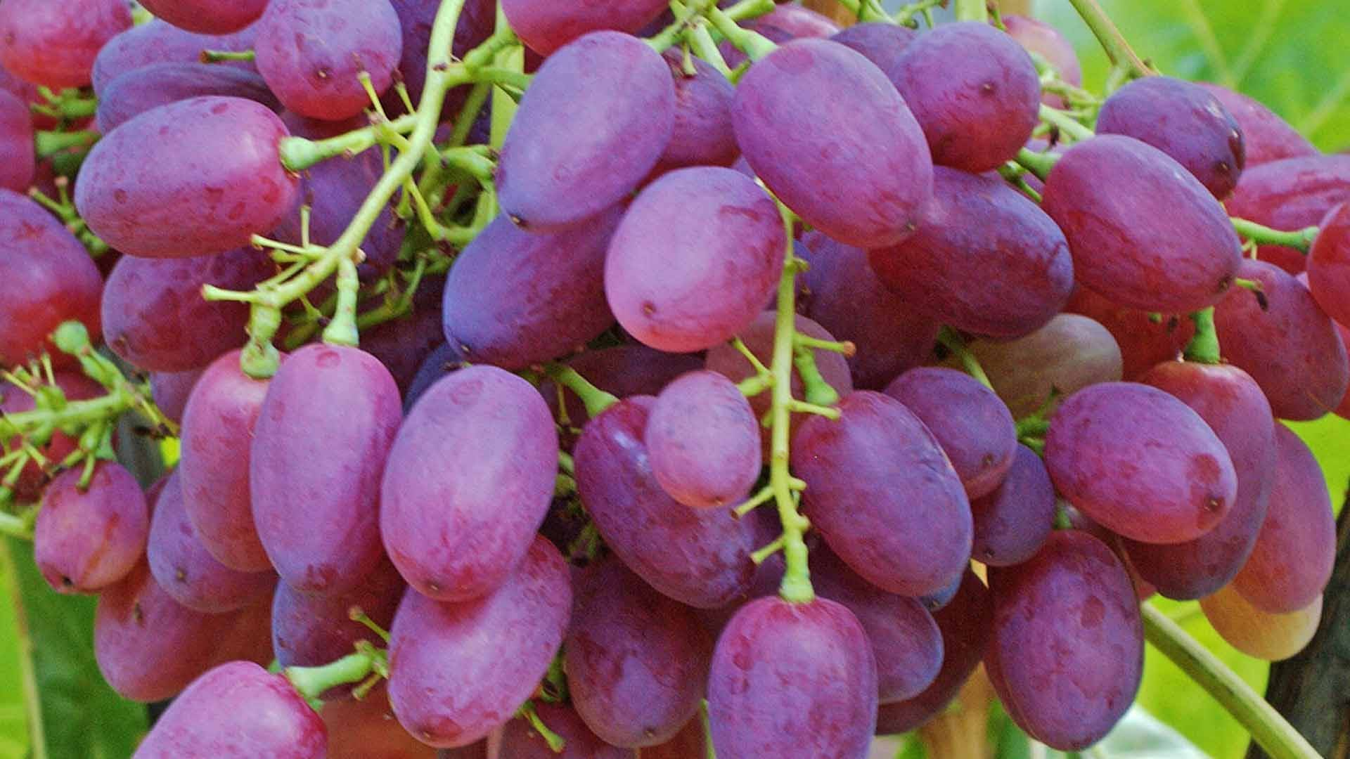 Виноград велес — настоящий дар бога плодородия