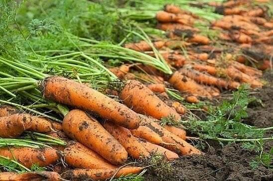 Морковь выращивание и уход в открытом грунте, правила посадки культуры