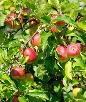 Описание сорта яблони память лаврика: фото яблок, важные характеристики, урожайность с дерева