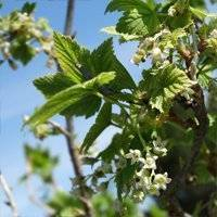Уход за малиной весной - обрезка, подкормка, обработка