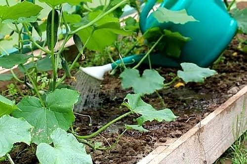 Как часто поливать рассаду огурцов на подоконнике и сколько ей нужно воды?