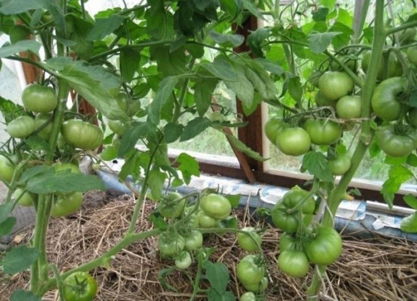 Почему помидоры цветут, но не завязываются в теплице