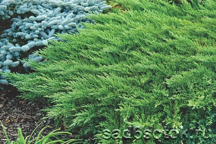 Виды можжевельников (66 фото): разновидности сортов. описание горного и даурского, колоновидного и шаровидного можжевельника и других