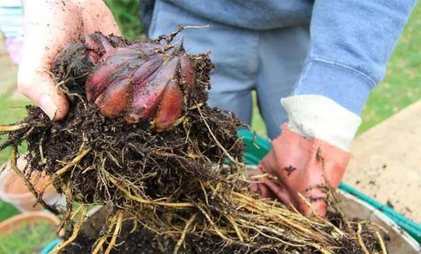 Посадка луковиц лилий весной в открытый грунт: сроки, правила, схемы