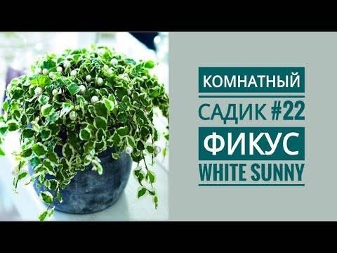 Цветок фикус пумила — описание и уход дома