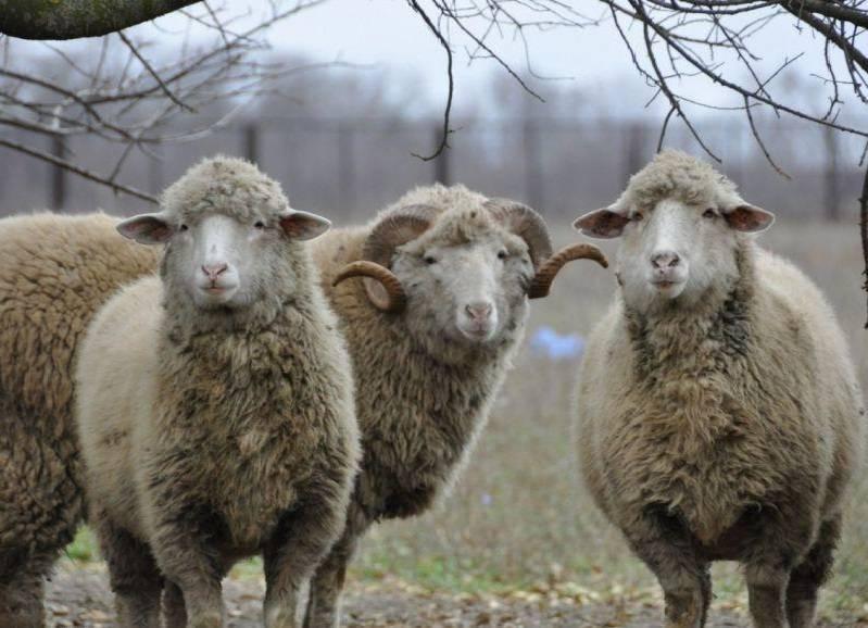 Овцеводство как бизнес для начинающего фермера - шаг за шагом