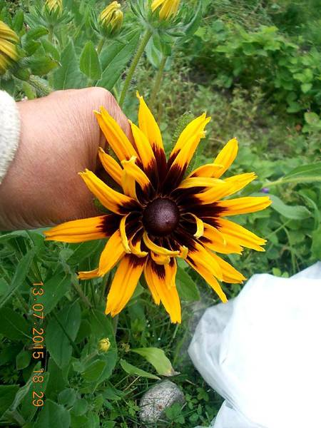 Гацания выращивание из семян когда сажать, гацания многолетняя посадка и уход с фото + видео
