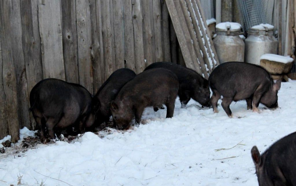Кармалы порода свиней
