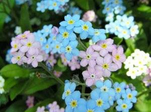 Мир растений. незабудка - хвастунишка - медиаплатформа миртесен