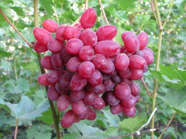 Описание сортов винограда кишмиш