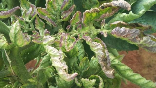 Почему желтеют листья у помидоров в теплице, что делать в таком случае