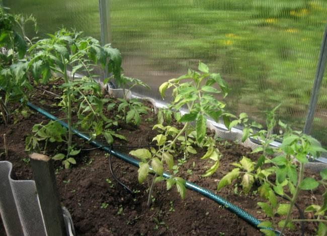 Капельный полив своими руками из пластиковых бутылок и других материалов, для помидор в теплице и открытом грунте