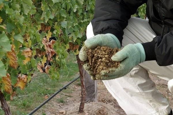 Подкормка винограда: минеральными удобрениями и другими. чем удобрять весной и как подкормить в ноябре? внекорневые обработки