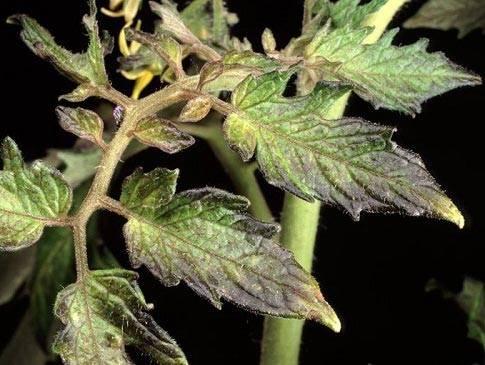 Суперфосфат: подкормка помидор, огурцов, рассады, картофеля, чеснока, приготовление раствора, как развести, характеристика