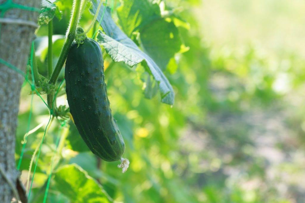 Лучшие сорта огурцов с фото, описанием и отзывами: самые урожайные, ранние, для открытого грунта, теплиц и другие