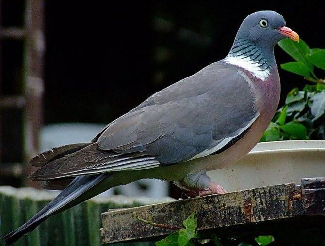 Дикий голубь (вяхирь, горлица, лесной) - фото и описание, где живут