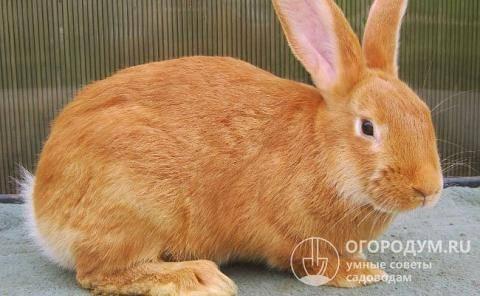 Обзор рыжих пород кроликов: описание и характеристики