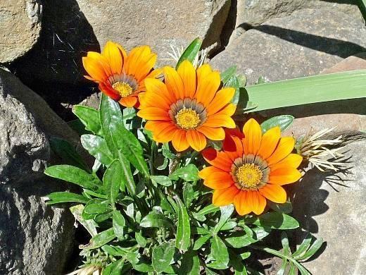 Гацания (43 фото): когда сажать, выращивание из семян, посадка, уход в открытом грунте, многолетние, однолетние сорта