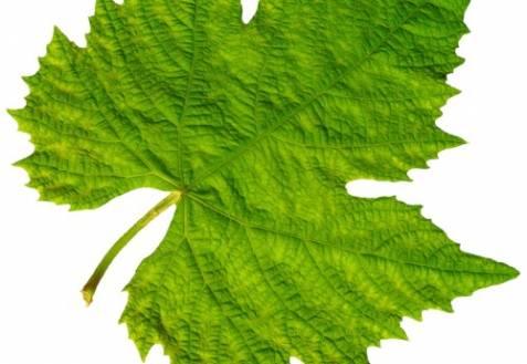 Вянут листья винограда: причины