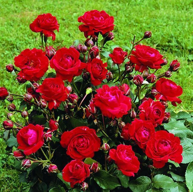 Как вырастить розу голландскую